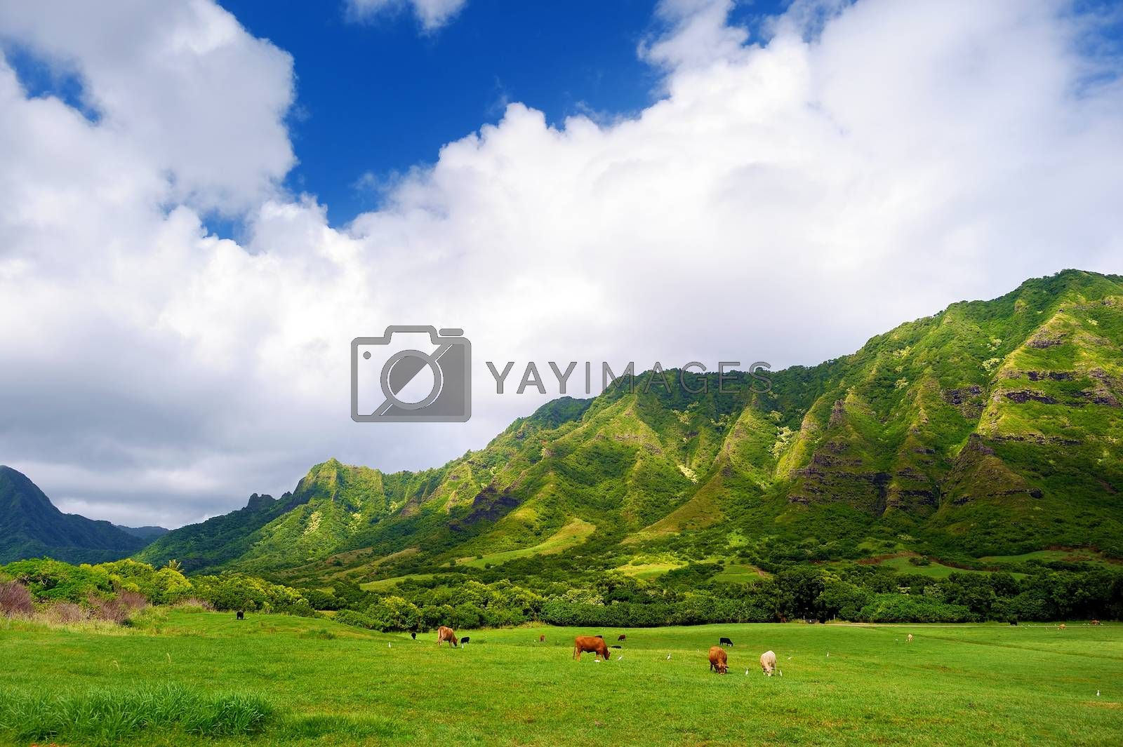 Royalty free image of Cliffs and cows of Kualoa Ranch, Oahu by maximkabb
