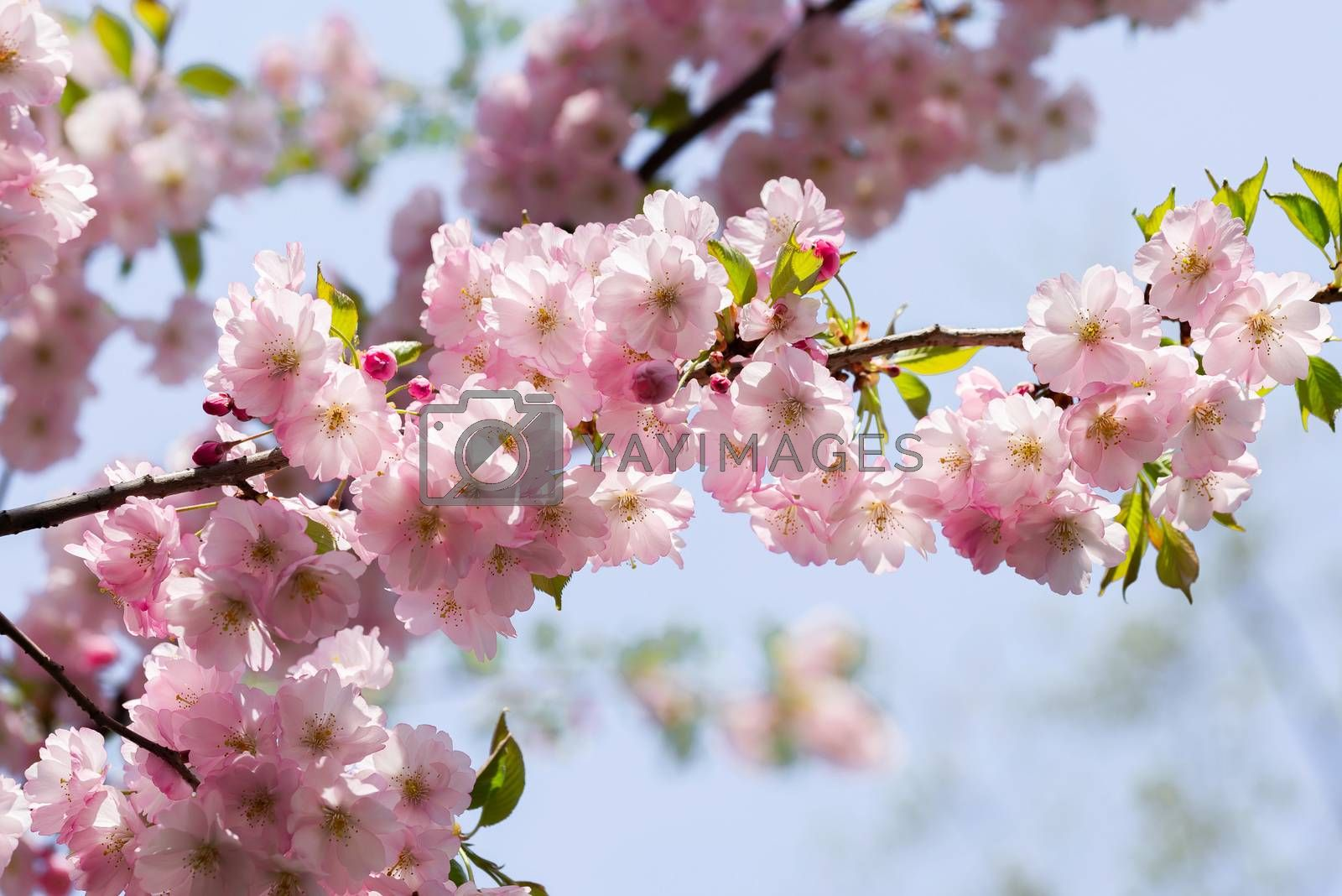Nice pink Cherry Blossom flowers under the warm spring sun