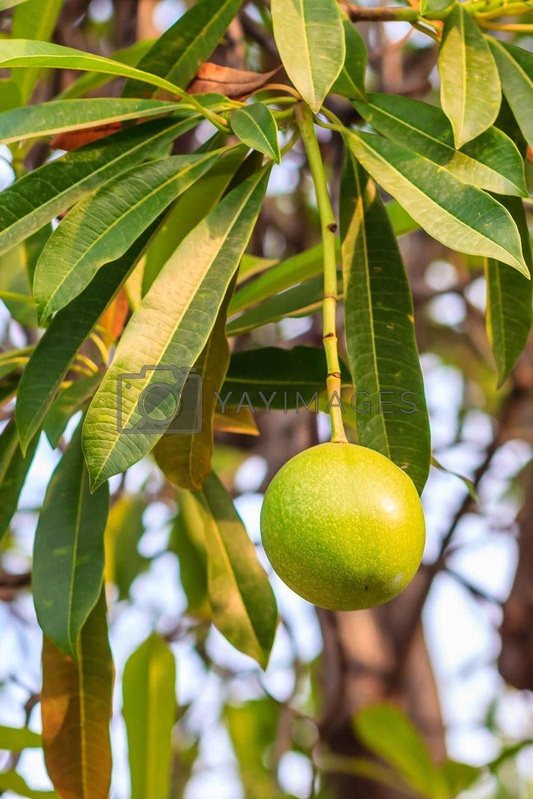 Green Suicide tree, Pong-pong, Othalanga (Cerbera oddloam) fruit on tree, cerbera odollam gaertn of apocynaceae family
