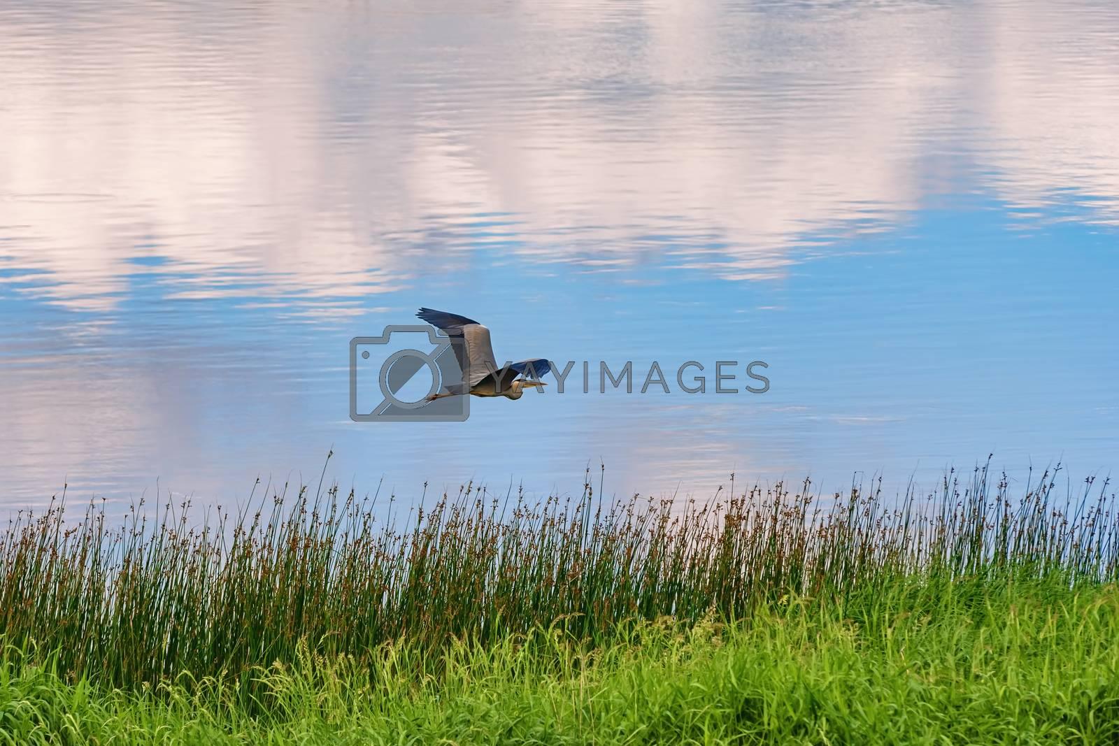 Grey heron flies over the river