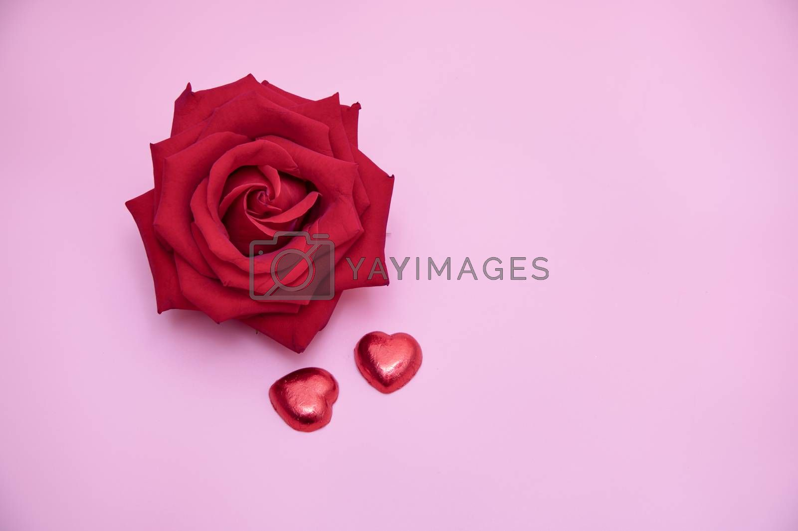 Closeup of a beautiful blooming red rose with red candy hearts on pink background. Valentine's, day  anniversary, wedding concept.