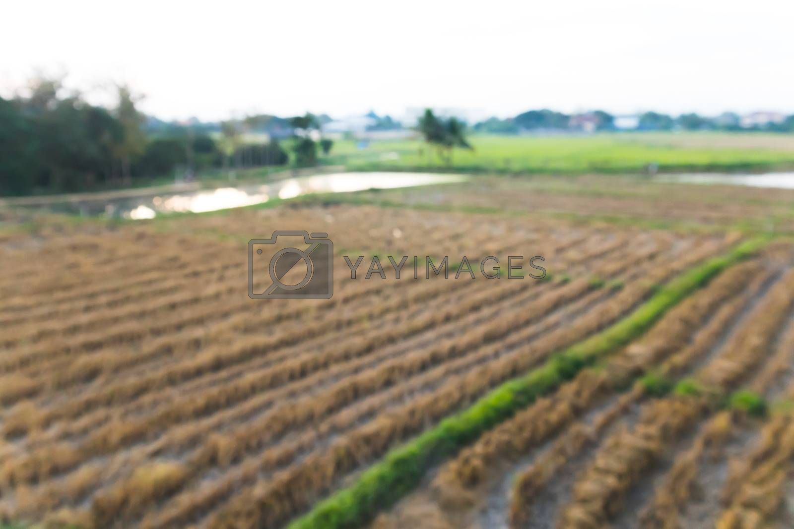 Blurred Paddy Field country farm.Out of focus rice field background