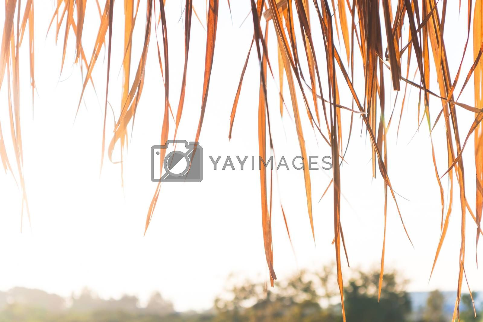 Roof made from dry grass on country farm background by Saeteaw