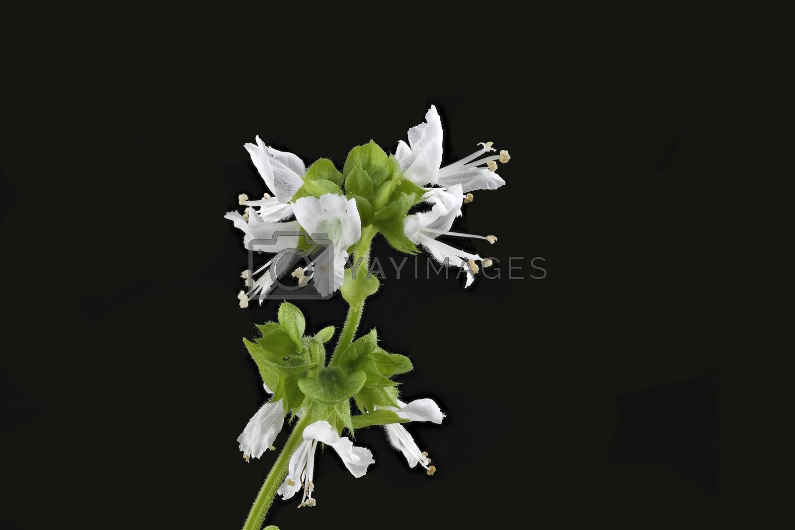 Close-up of white Basil Flower (focus on fist flower) on black background.
