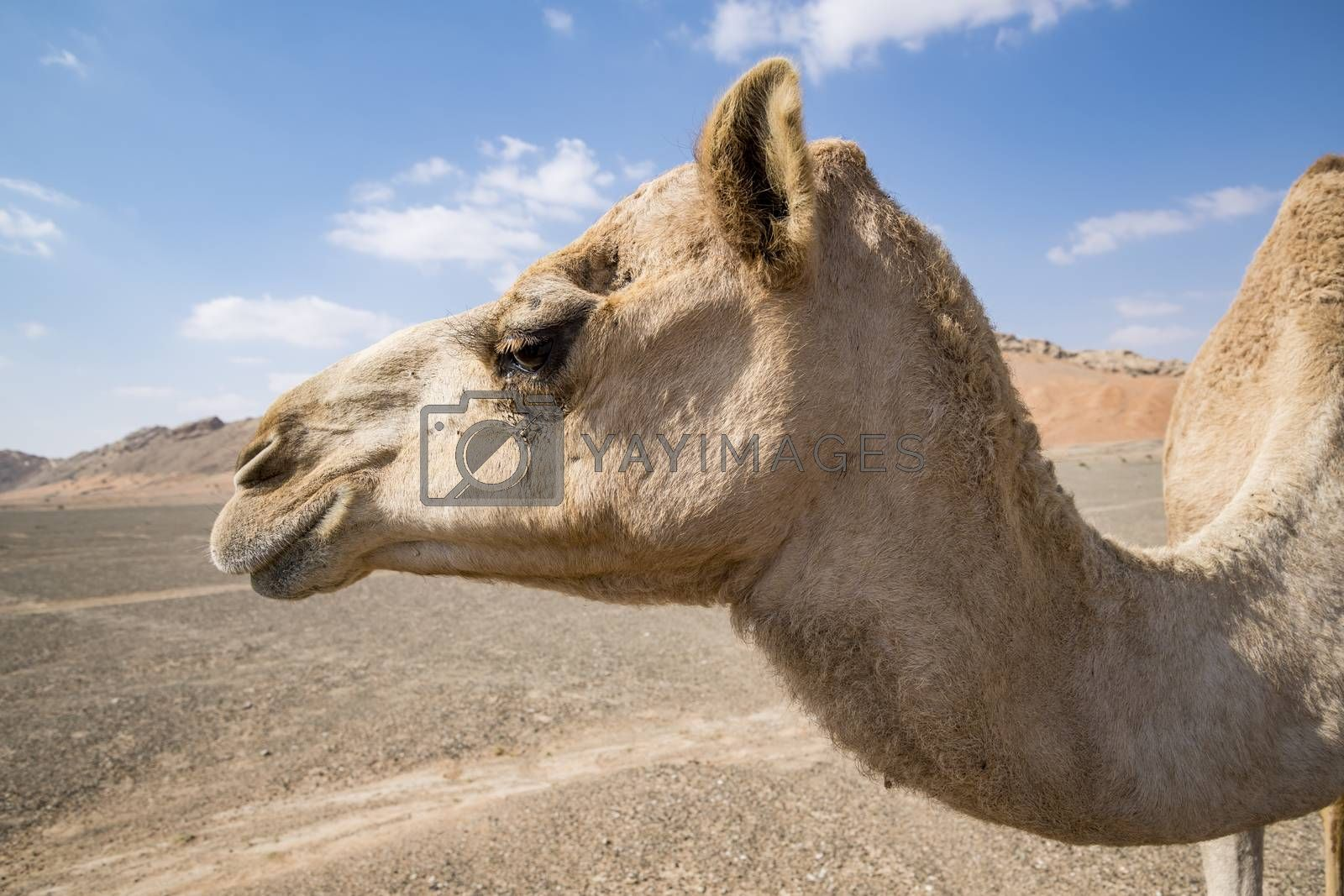Closeup of Camel head in the desert of Sharjah Emirates, United Arab Emirates