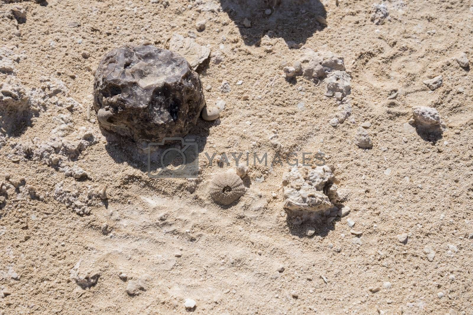 Sea urchin fossil found at Rock Garden (also called Rock Zoo of Duqm or Duqm Stone Park) is a famous tourist attraction of a 3 square kilometer of rock formations (shaped by wind, water and other natural forces), limestone and marine fossils, Duqm, Sultanate of Oman