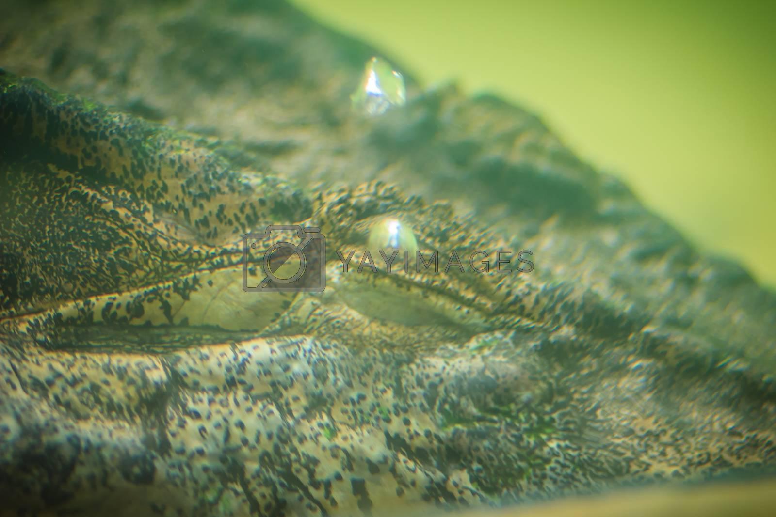 Skin of Saltwater or Estuarine Crocodile (crocodylus porosus) hide under water