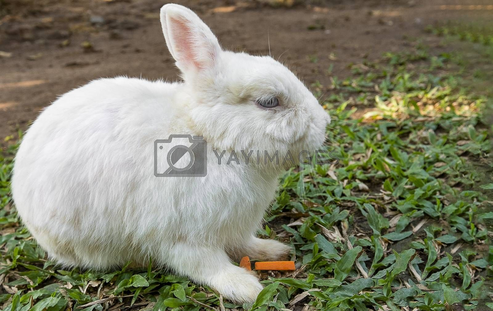 Cute little  blue-eyed creamy white baby bunny rabbit sitting  on a green lawn waiting to be petted in the afternoon sun. Easter, spring, summer concept.