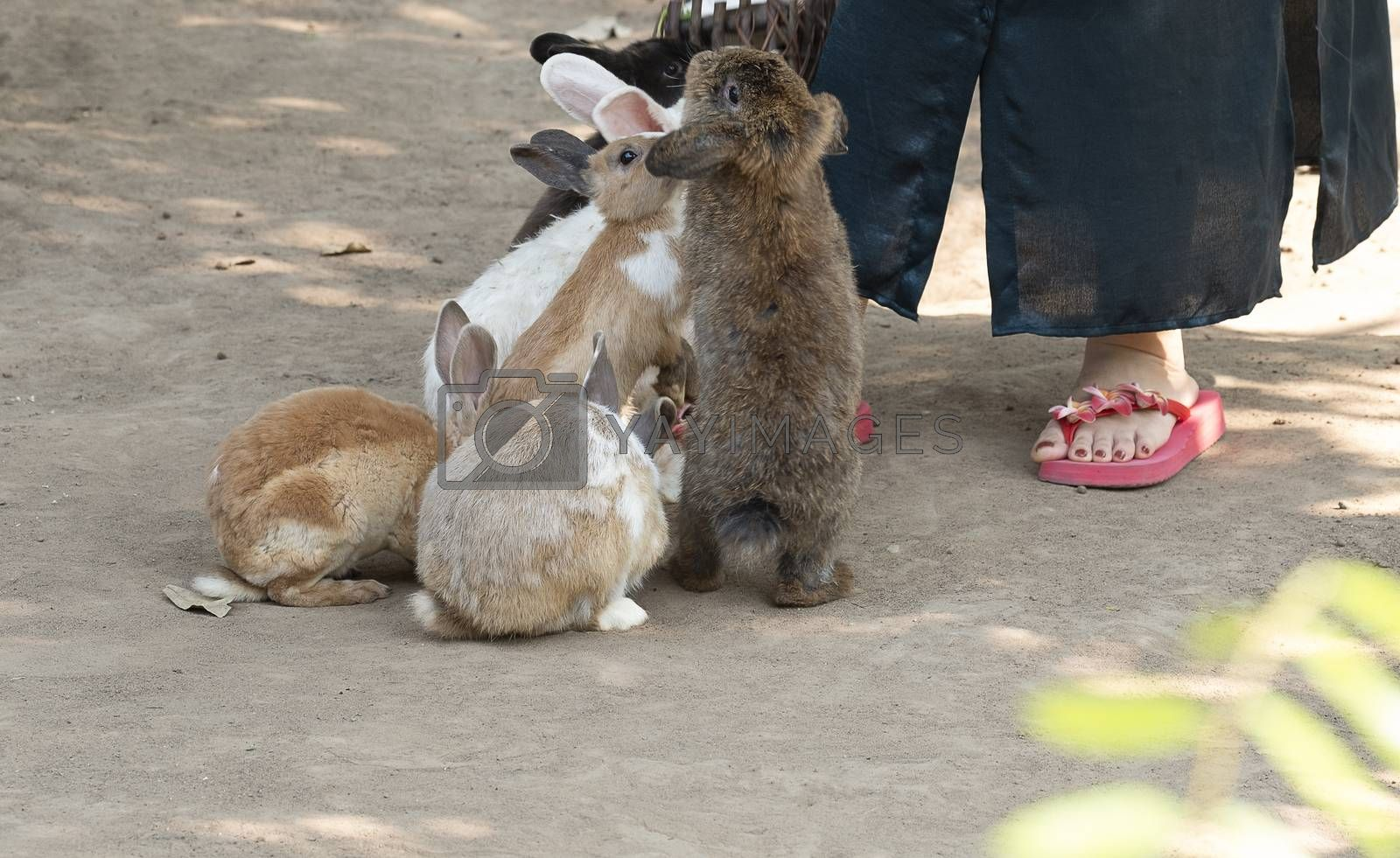 Cute little rabbits begging for food from a visitor at the petting zoo.  Animals activity focusing with a small part of an unidentifiable person as background.