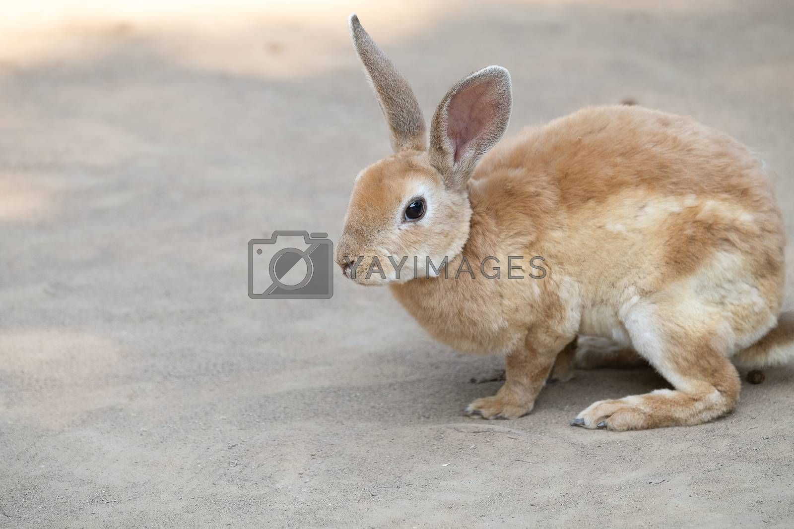 Cute little rabbit with long ears sitting on the ground. Selective focusing.
