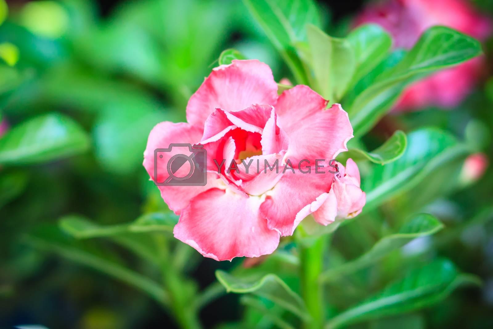 Beautiful hybrid Adenium Obesum (Desert rose) red layered flower for sale at the tree market.