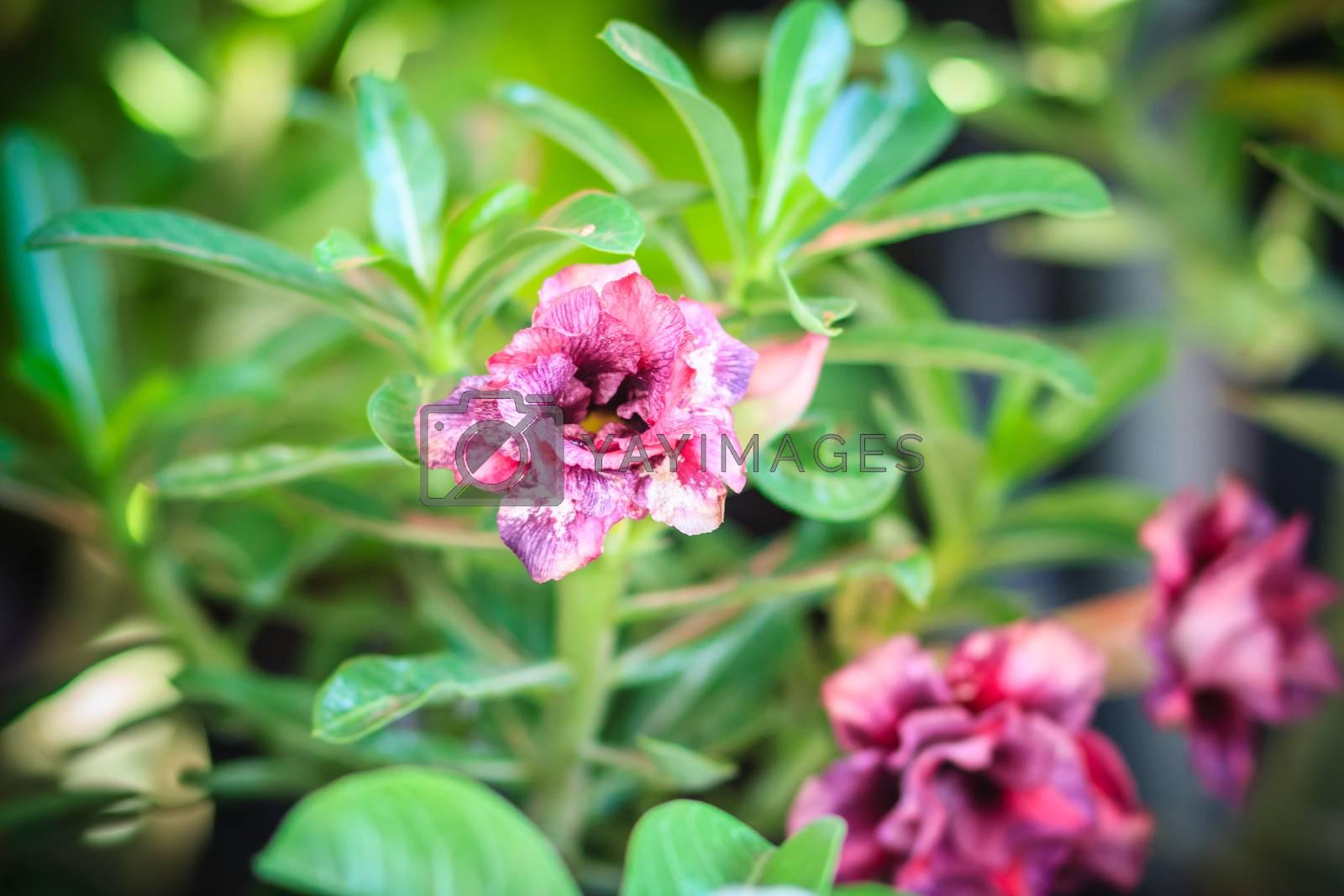 Beautiful hybrid Adenium Obesum (Desert rose) purple layers flower for sale at the tree market.