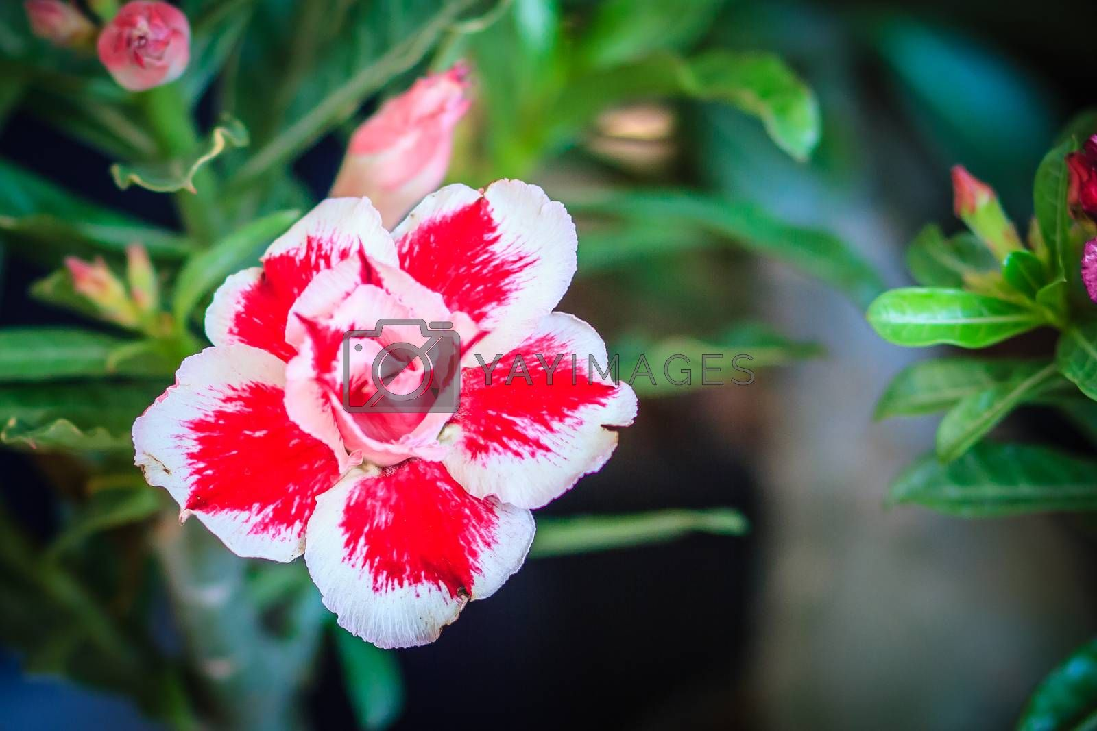 Beautiful hybrid Adenium Obesum (Desert rose) white and pink layers flower for sale at the tree market.