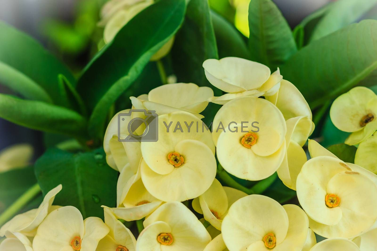 Beautiful hybrid Euphorbia milii (crown of thorns, Christ plant, Christ thorn) yellow flower for sale at the tree market. Yellow Euphorbia milii Desmoul flowers.