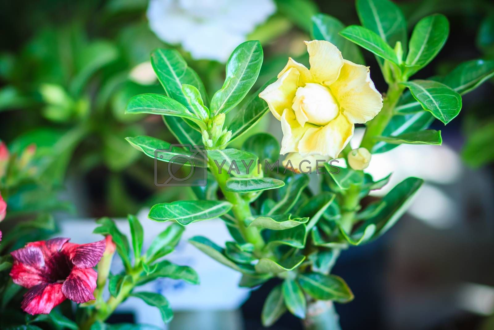 Beautiful hybrid Adenium Obesum (Desert rose) yellow layers flower for sale at the tree market.