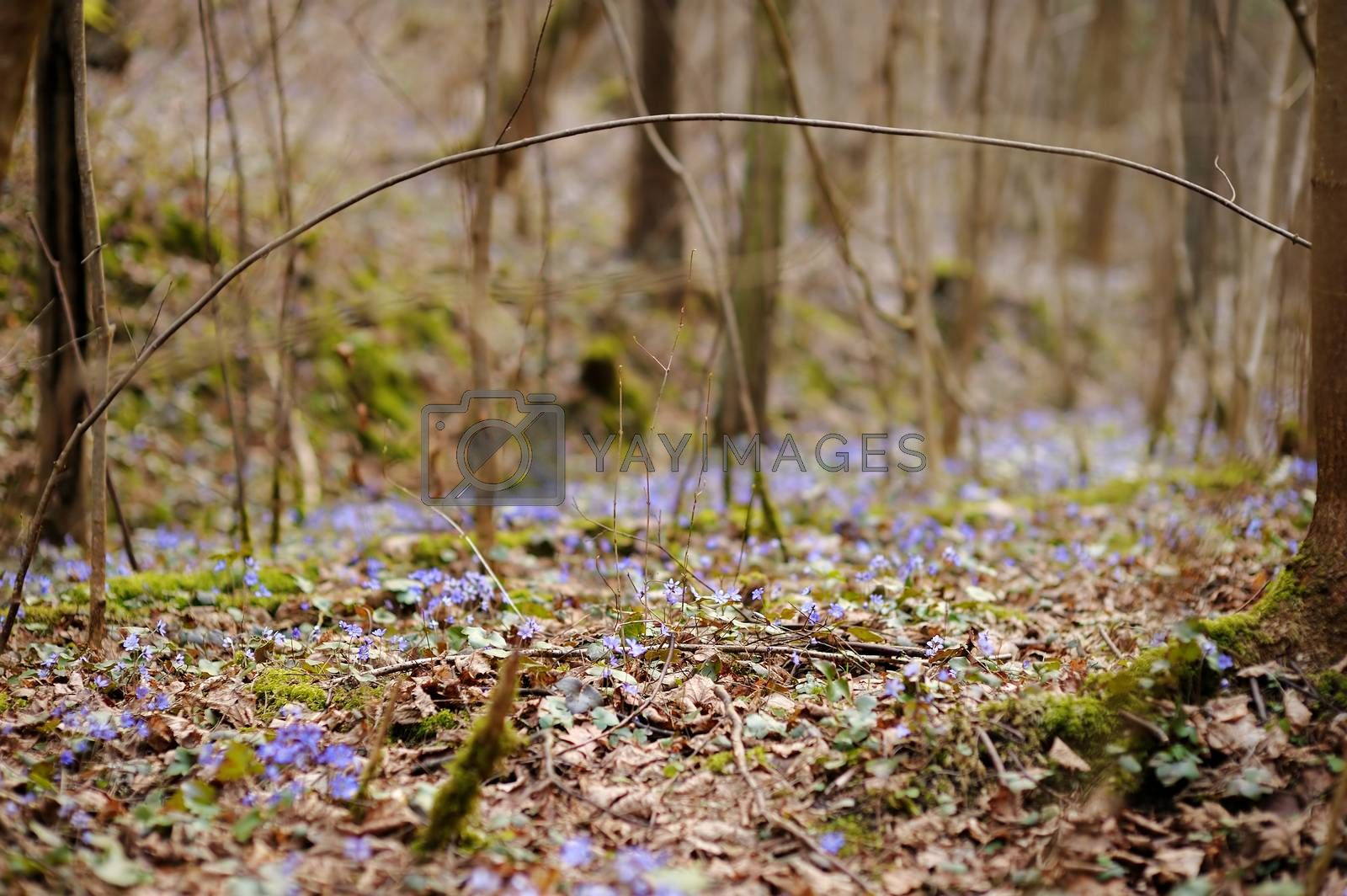 Blossoming hepatica flower in early spring in forest
