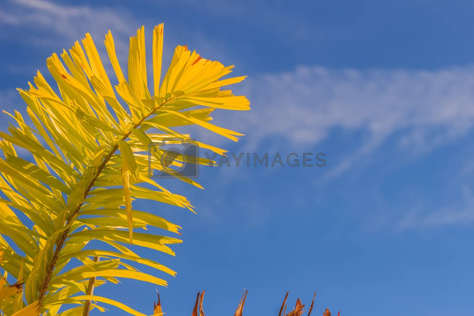 Foxtail palm (Wodyetia bifurcate A.K. Irvine) leaves under blue sky background.