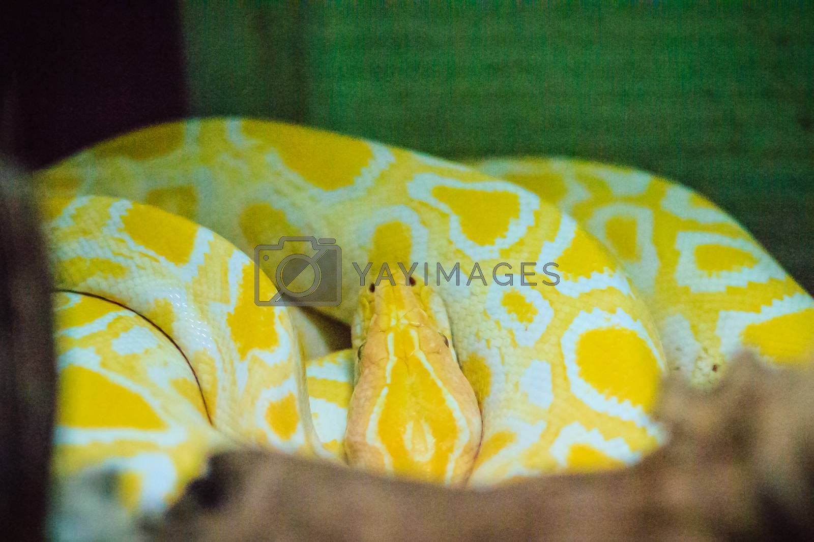 Albino Burmese python (Python bivittatus) is one of the five largest species of snakes in the world It is native to a large area of tropical South and Southeast Asia.