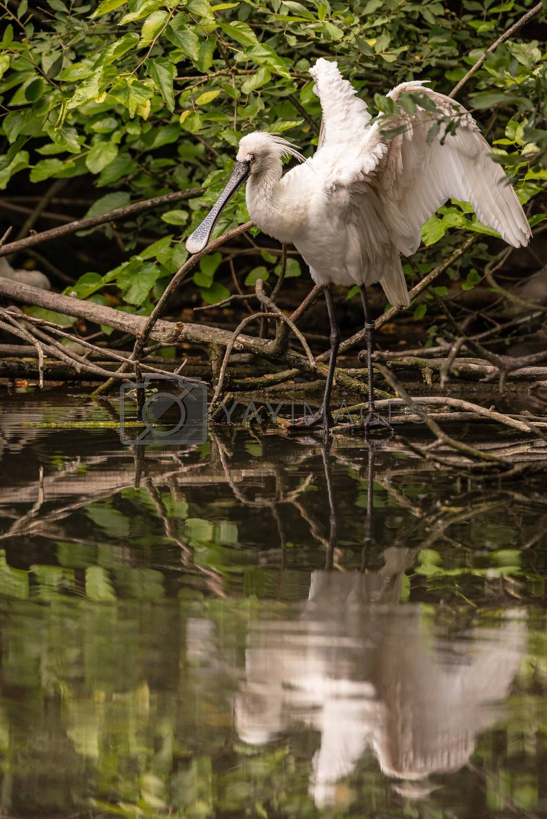 Eurasian common spoonbill opens wings reflected in a pond, image of white bird with large flat beak resting on tree branches