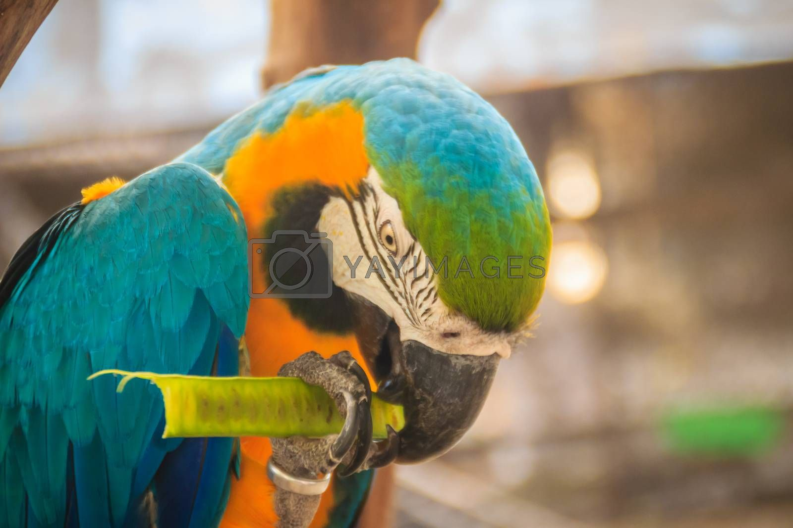 Cute blue-and-yellow macaw (Ara ararauna) is eating food. It's also known as the blue-and-gold macaw, is a large South American parrot with blue top parts and yellow under parts.