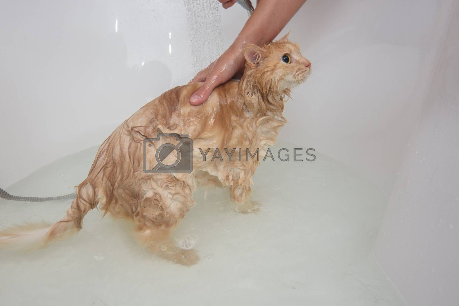 Girl's hands bathe a domestic cat in the bathroom