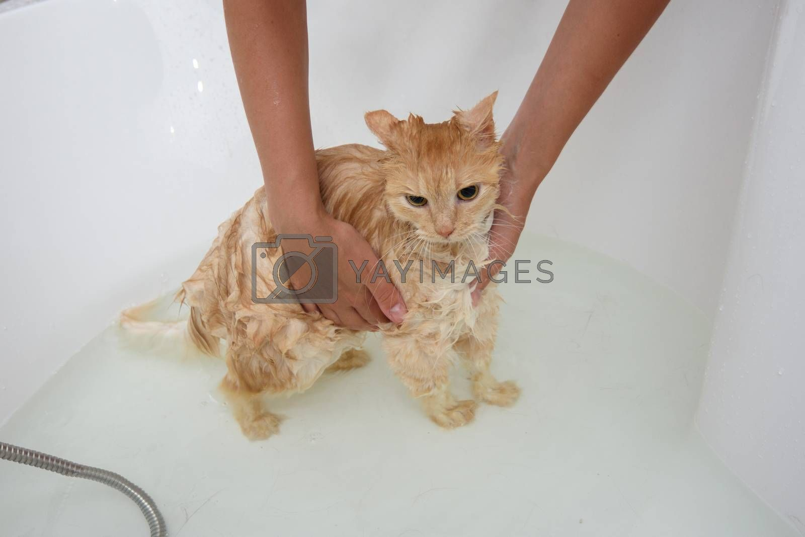 The cat that is bathed in the bathroom does not like water