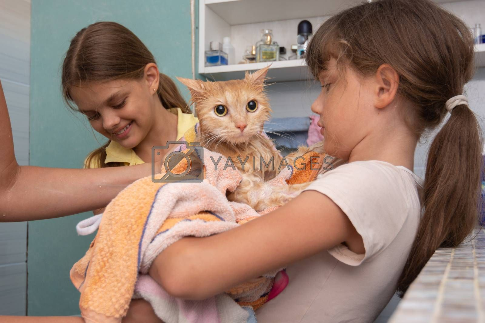 Mom and children wipe a wet domestic cat with a towel