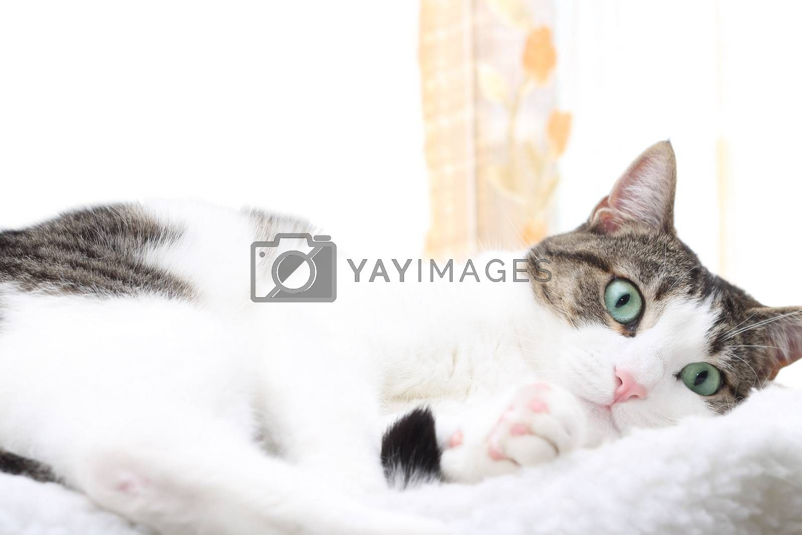 Close up of tabby cat in his bed by Rossella