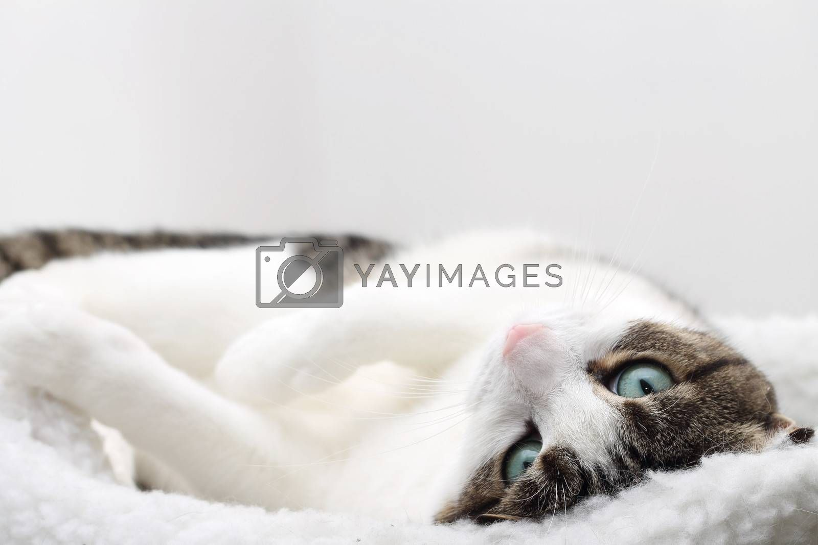 Close up of tabby cat sleeping in his bed by Rossella