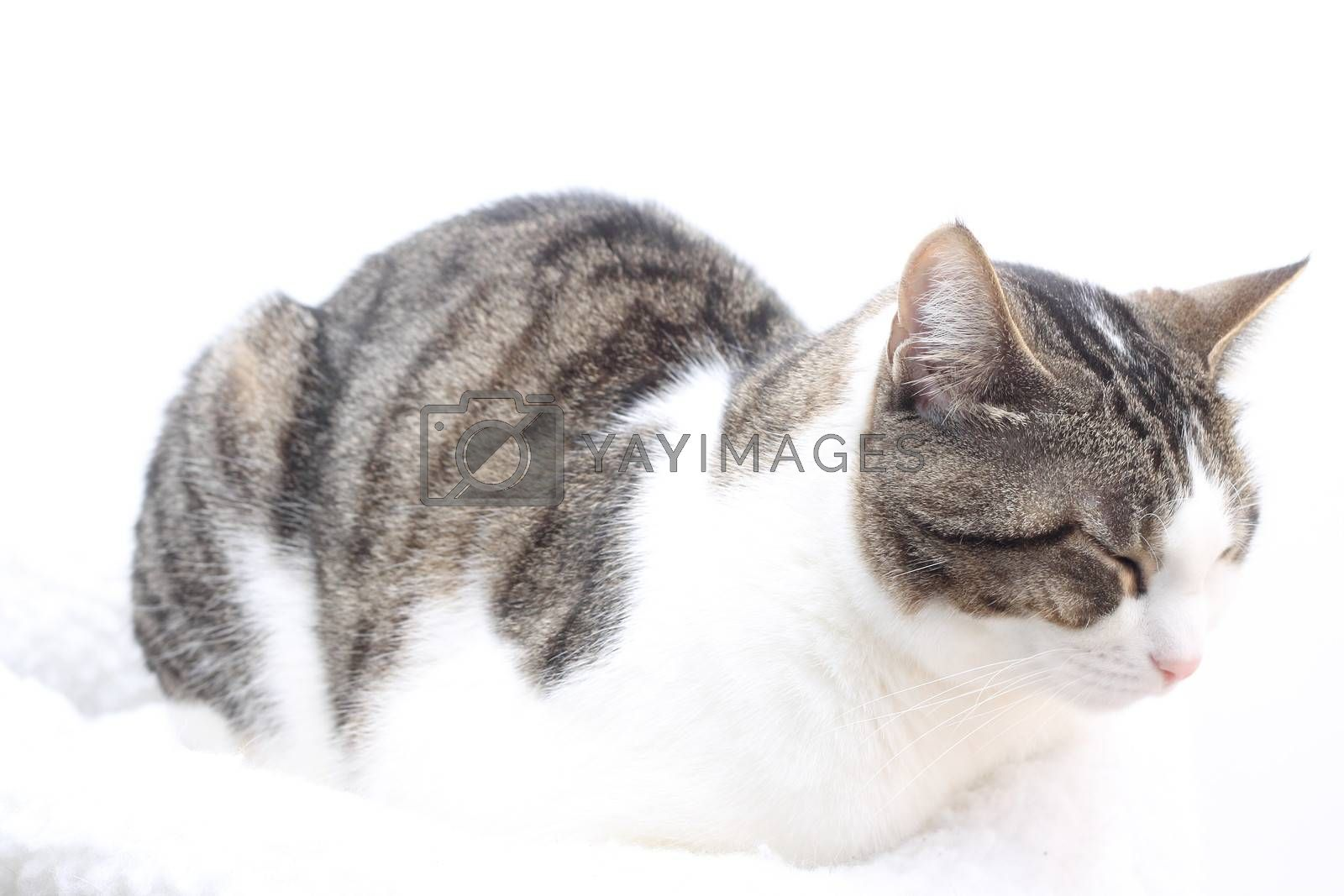 Tabby cat on white background. Eyes closed by Rossella