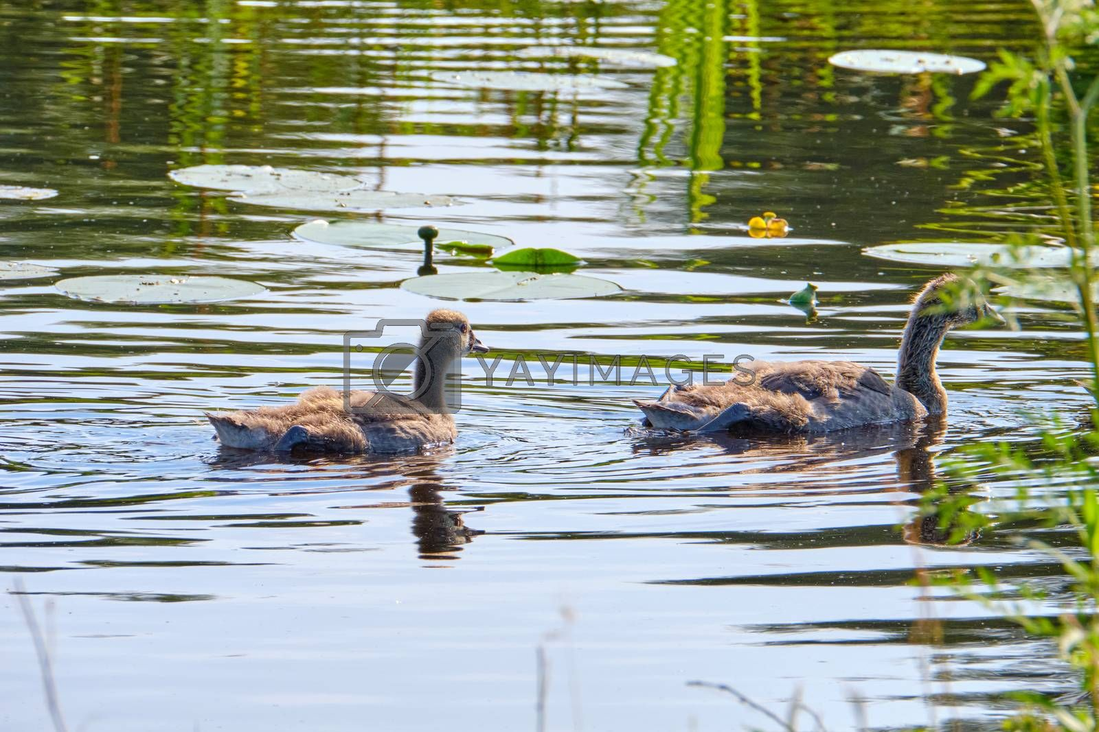 Canada goose, two newly hatched chicks, swimming in the water, soft chicks.