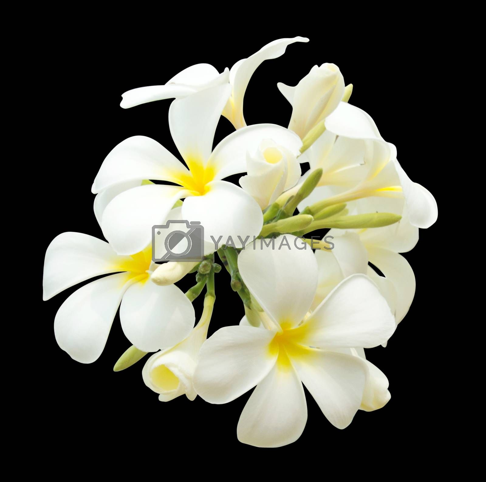 bouquet of white plumeria isolated by Nu1983