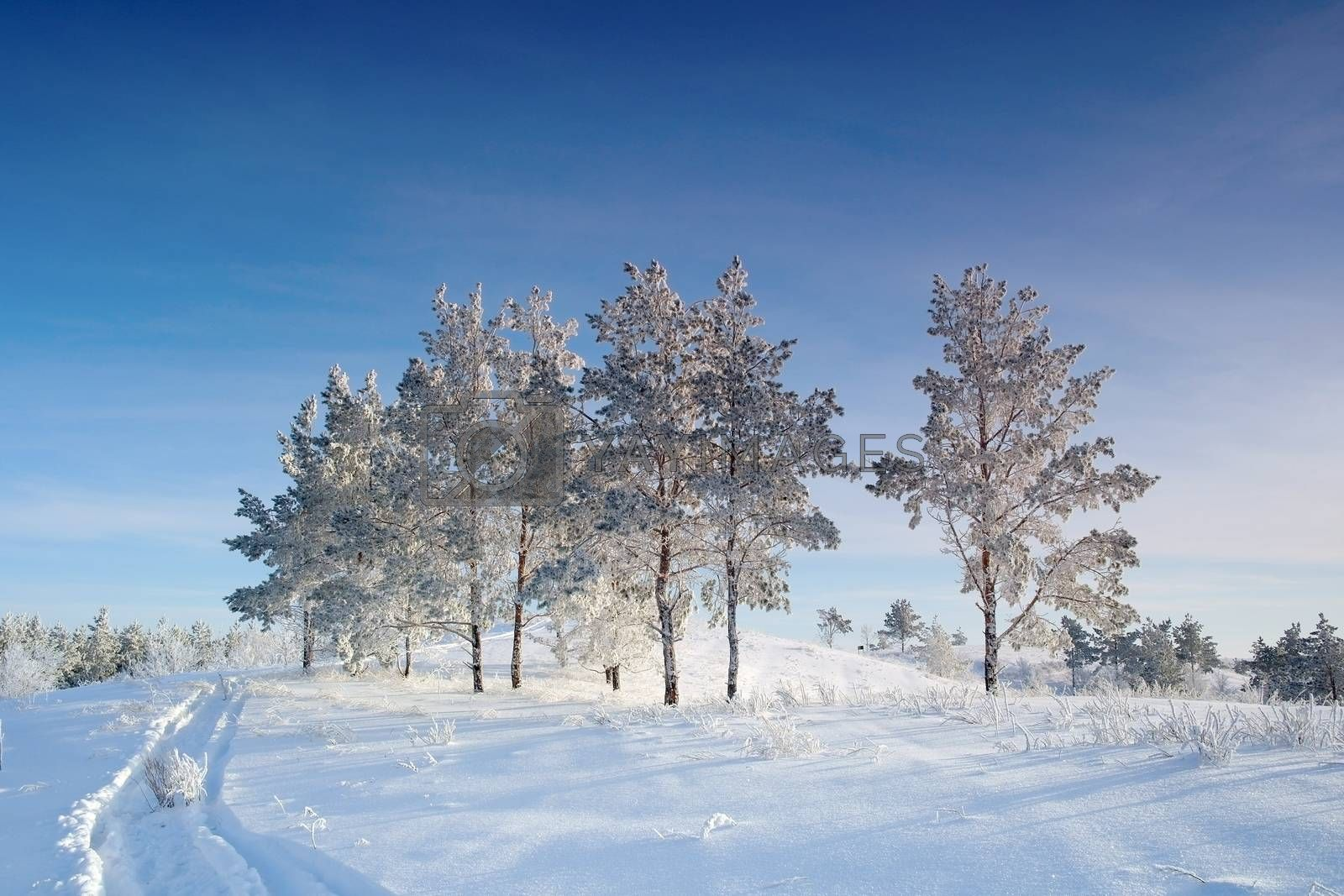 Evening winter landscape with pines on the hill by sergpet