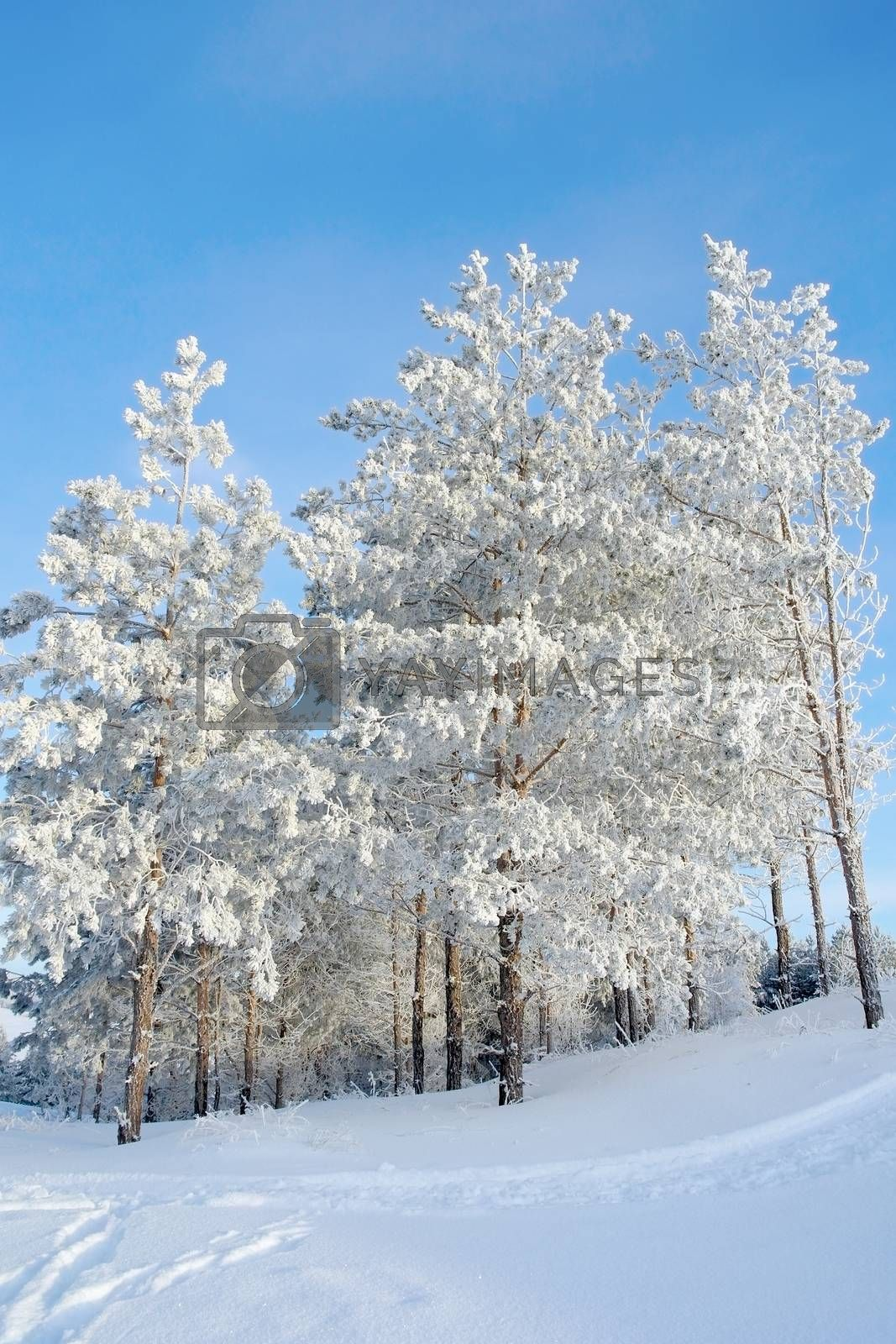 Winter landscape, pines on the hills by sergpet