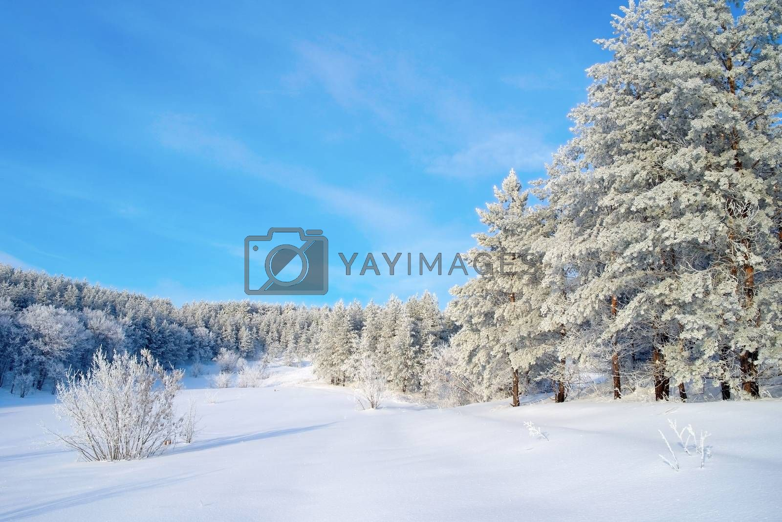 Winter landscape with pines by sergpet