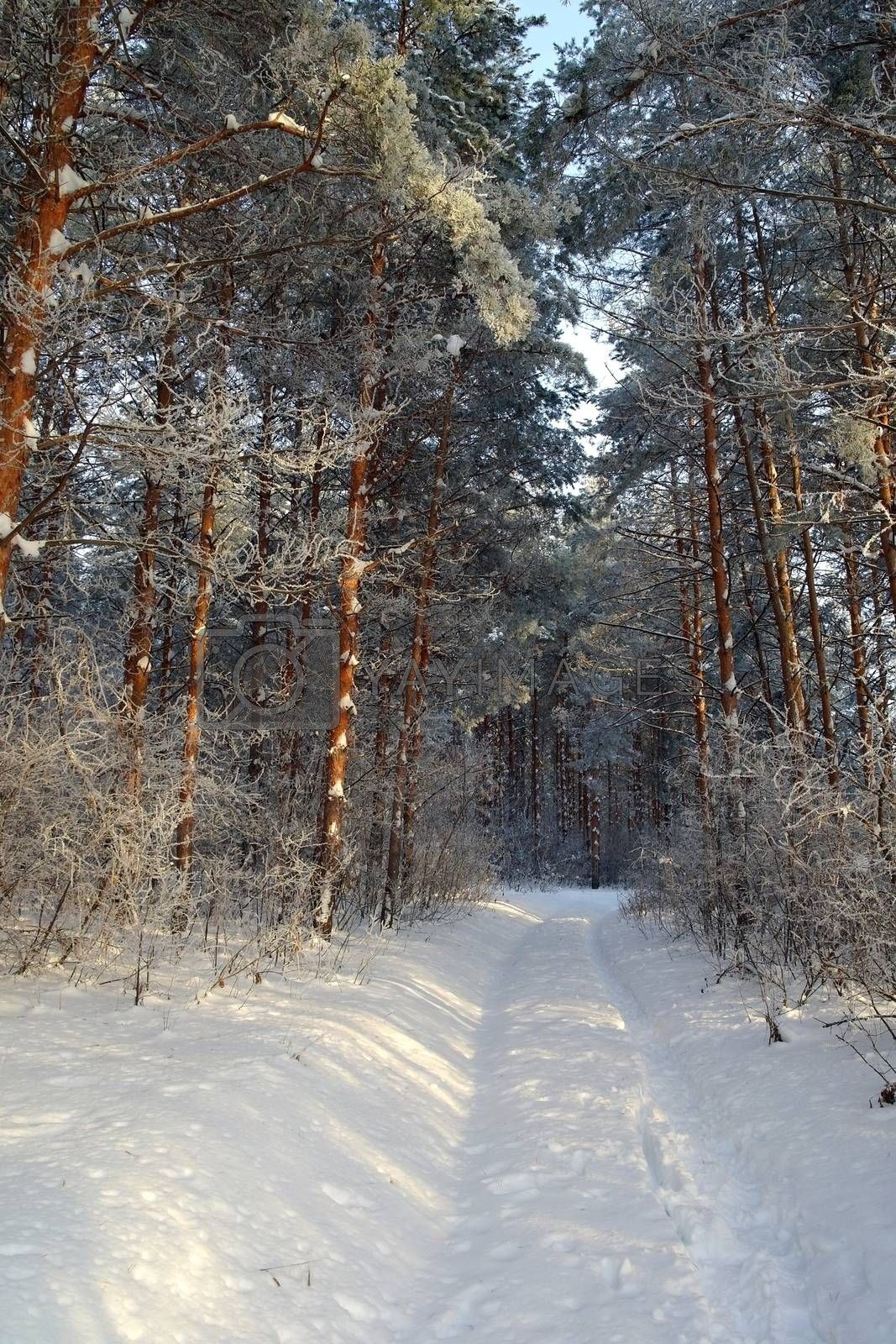 Winter landscape in forest with pines by sergpet