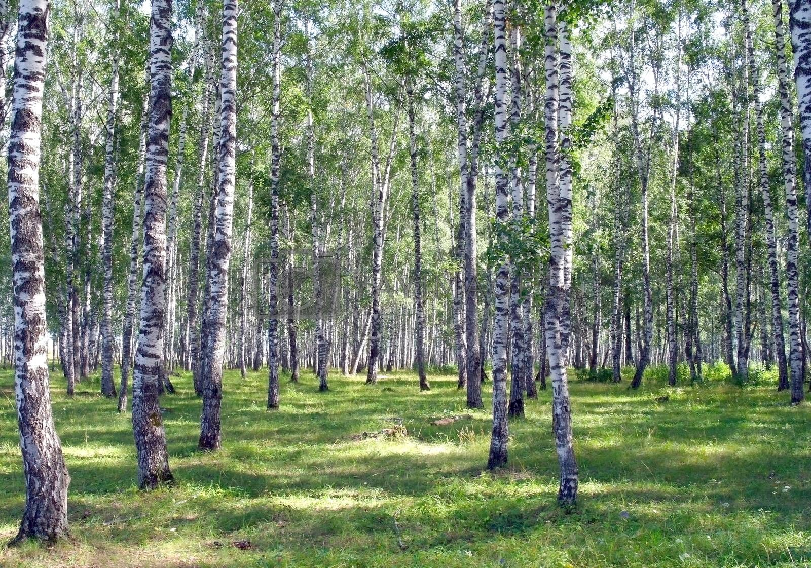 Beautiful summer landscape in birch grove by sergpet