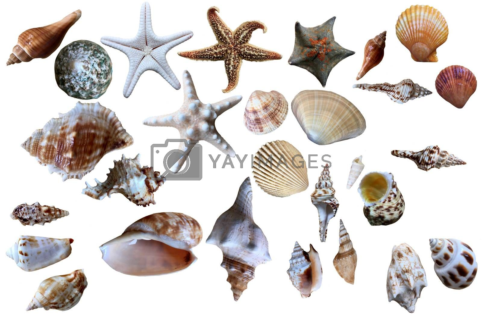Seashell collection isolated on the white, can be use for art and graphic design