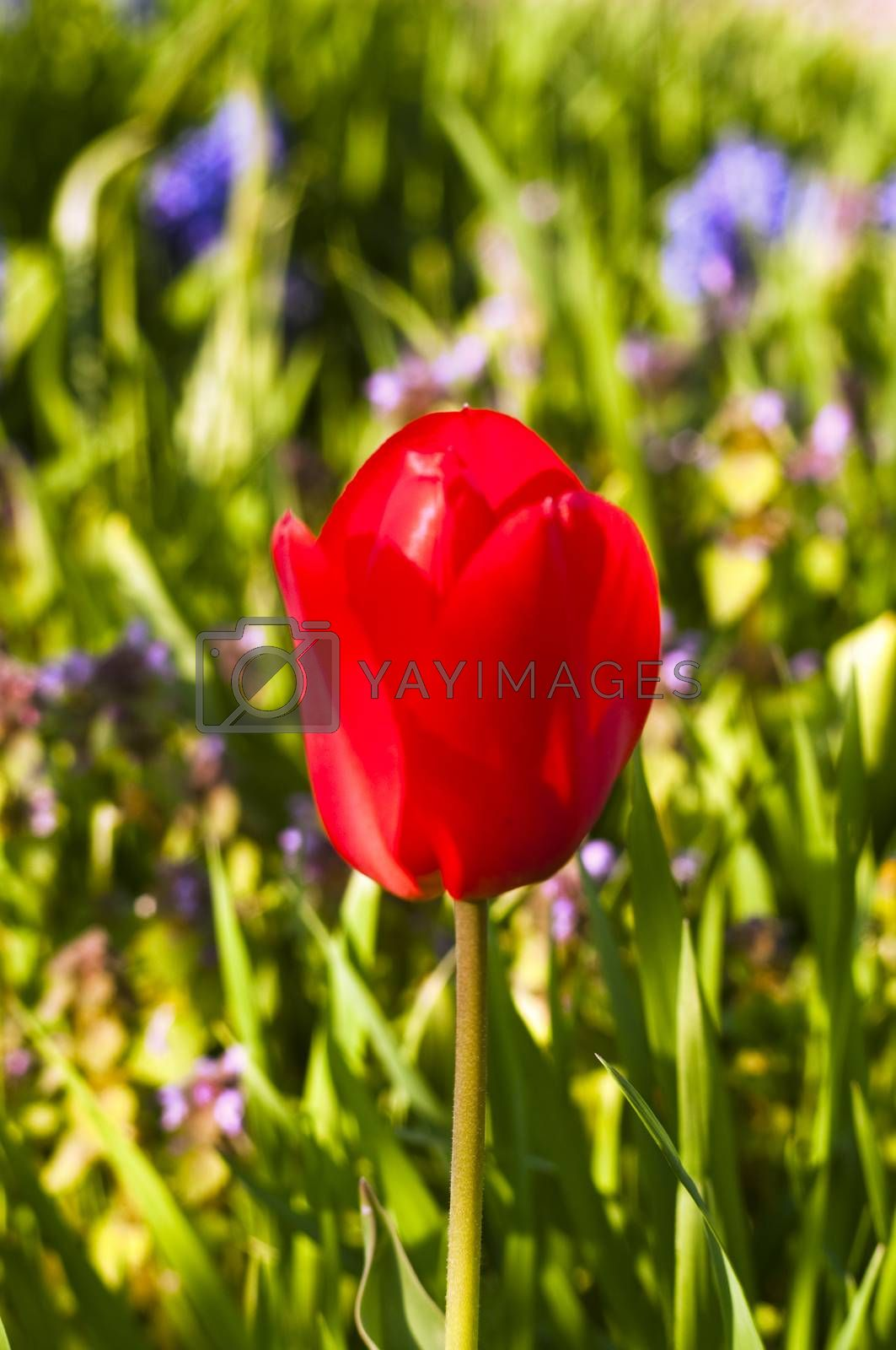 single red tulip by pozezan