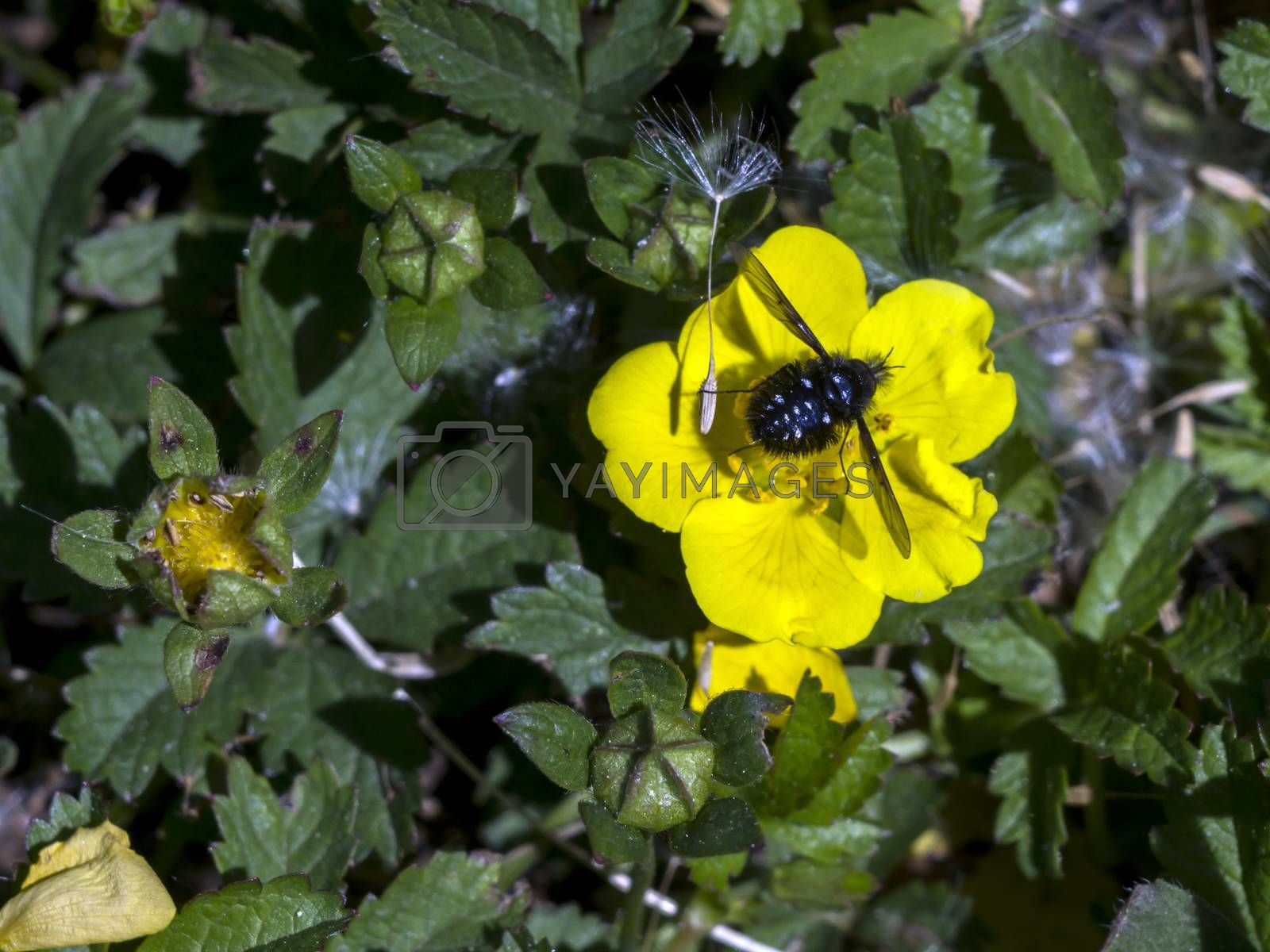The spring pimp (Potentilla neumanniana) flower in the field.