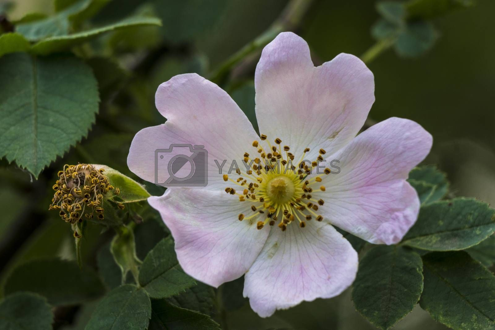 Wild Rose (Rosa Canina) in the woods.