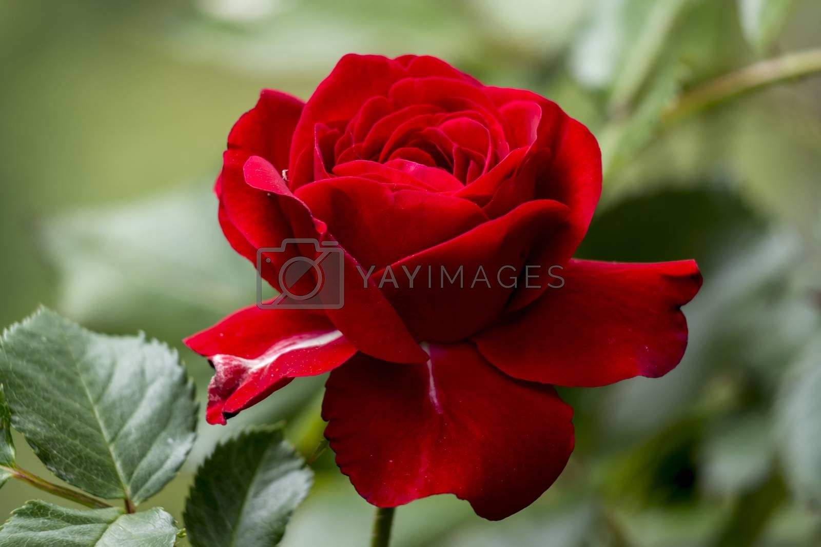 The red rose is filled with water droplets.