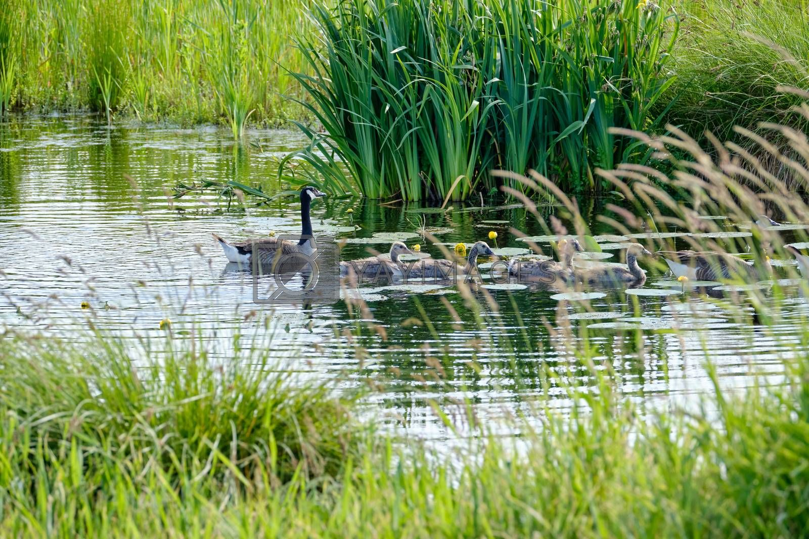 Canada goose with newly hatched chicks, swimming in the water, four soft chicks behind yellow grass.
