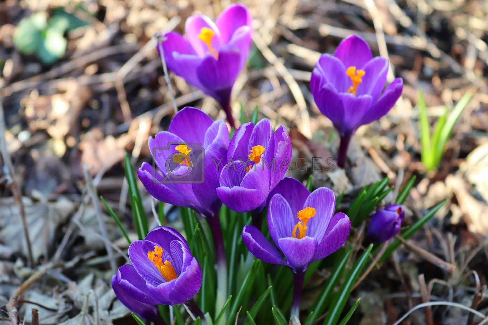 View at magic blooming spring flowers crocus sativus. Purple cro by MP_foto71
