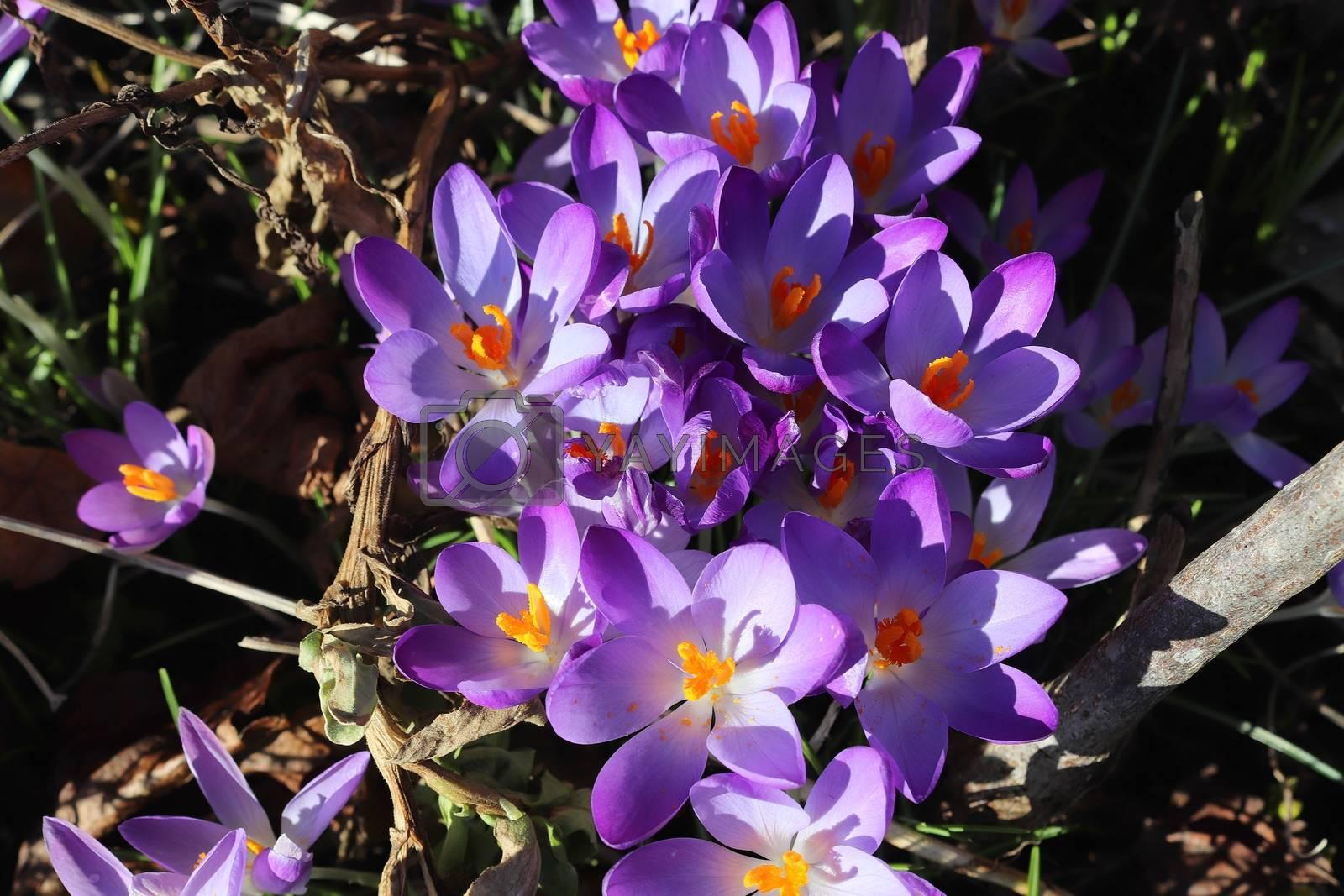 View at magic blooming spring flowers crocus sativus. Purple cro by MP_foto71
