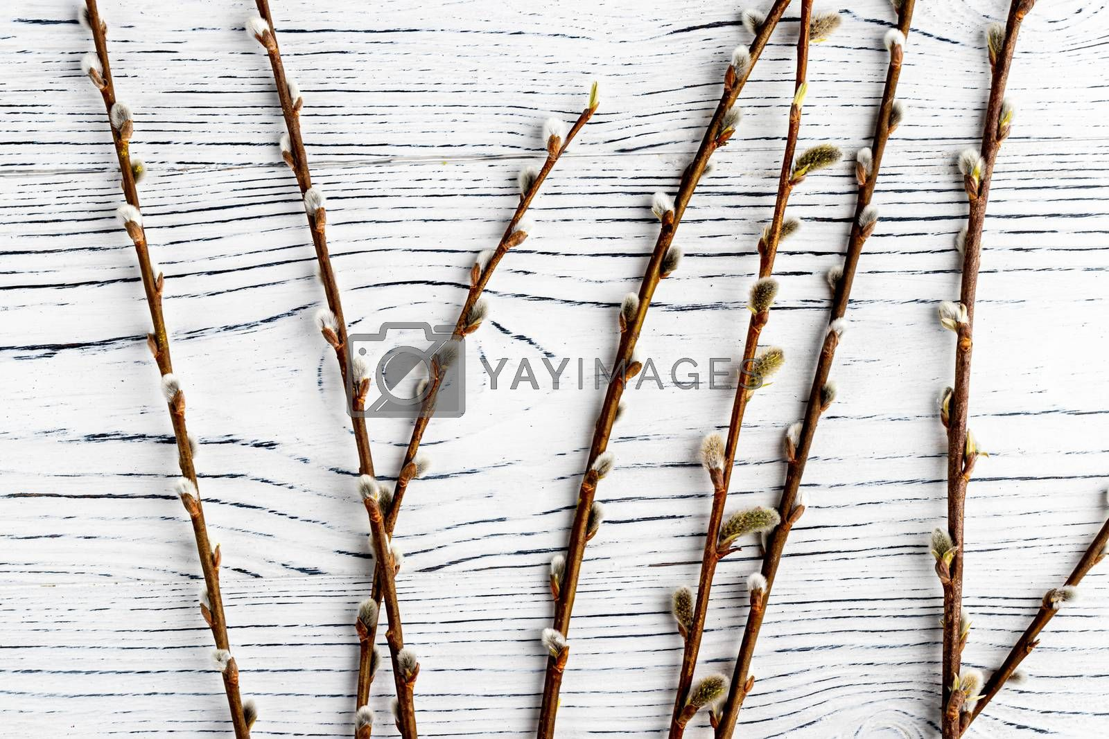 Willow twigs on a white wooden table. Abstracn easter backgroun for design.
