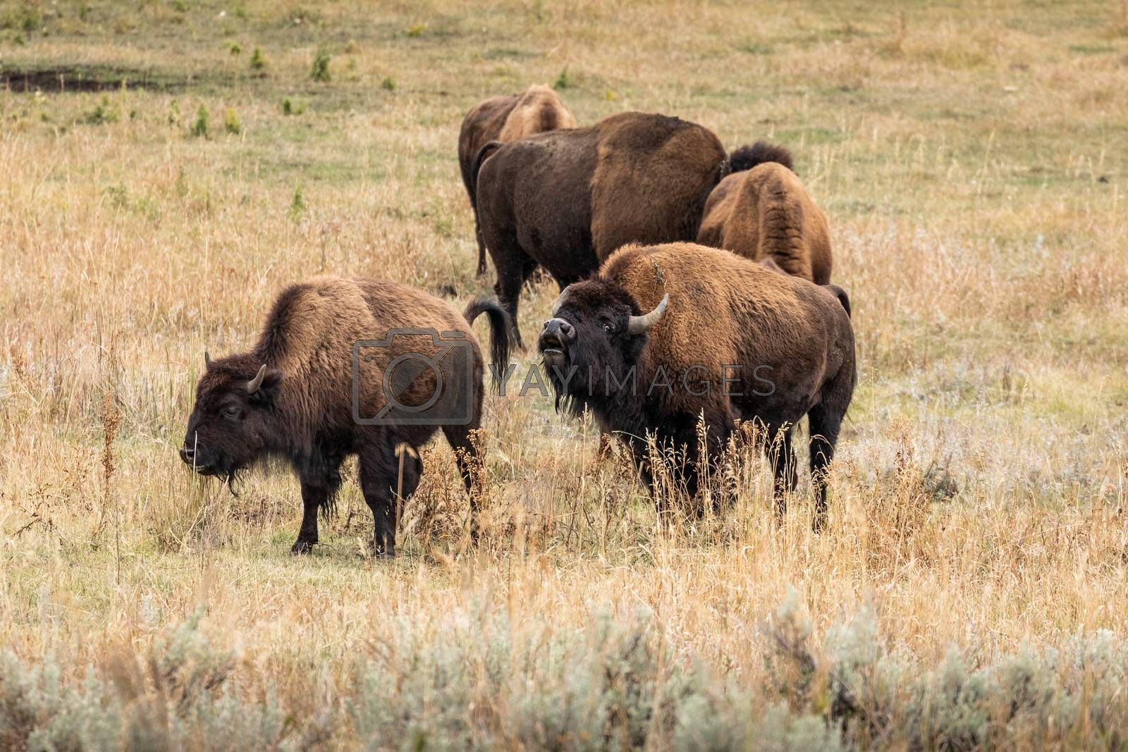 Group of american bisons eating grass on grassy valley in natural park.