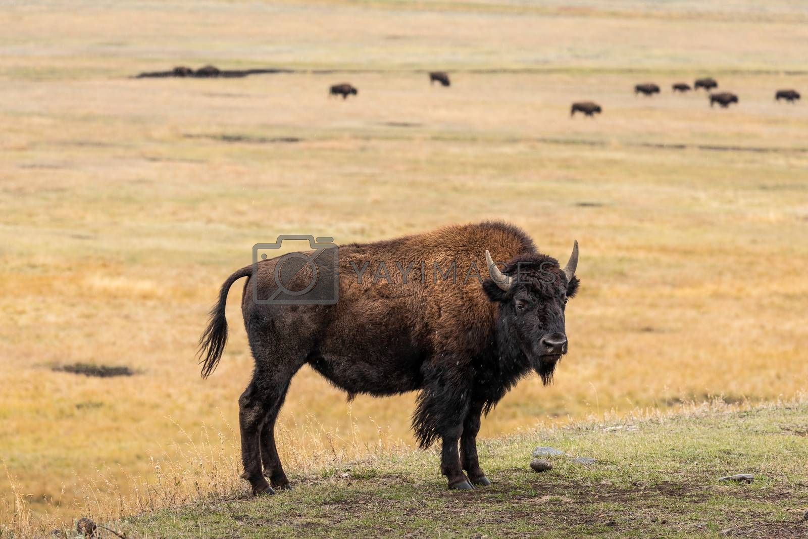 American bison on hill slope and its herd on grassy valley in natural park.