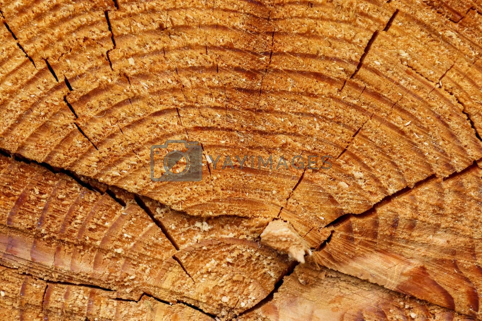 Fresh sawed wood in a close up view. Detailed texture of annual  by MP_foto71
