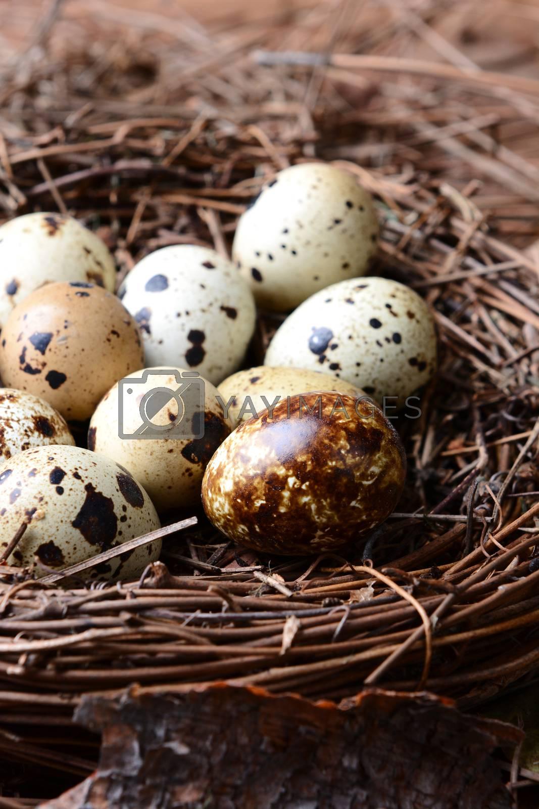 Quail Nest Closeup by sCukrov
